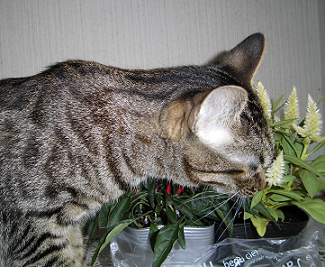 keitou-cat