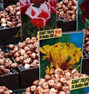 tulip-bulbs