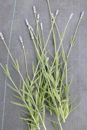 lavender2013-1